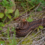 Vretenica (Fedor Martiš)