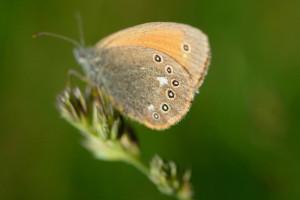 Motýľ (Fedor Martiš)